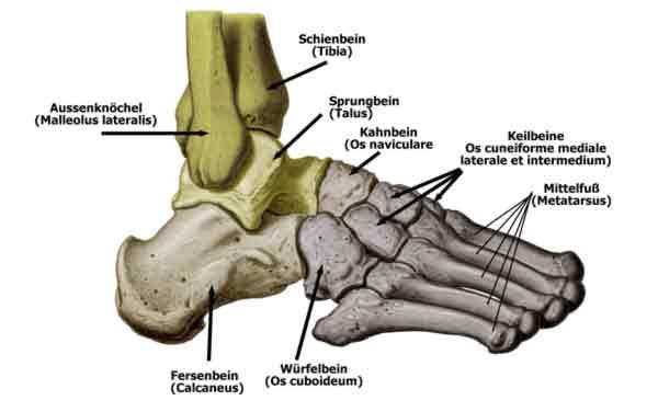 Fußwurzelknochen (Ossa tarsalia) || Med-koM
