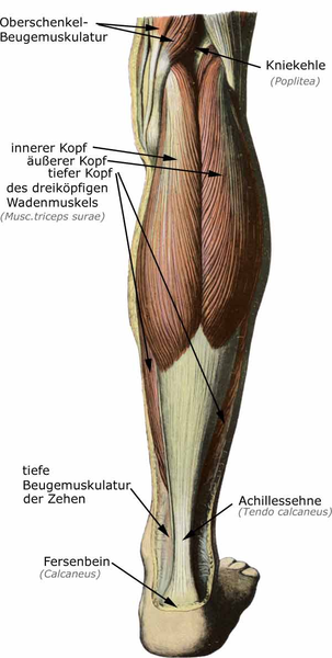 Muskulatur unterschenkel